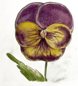 pansy-02