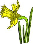Daffodil_colorized
