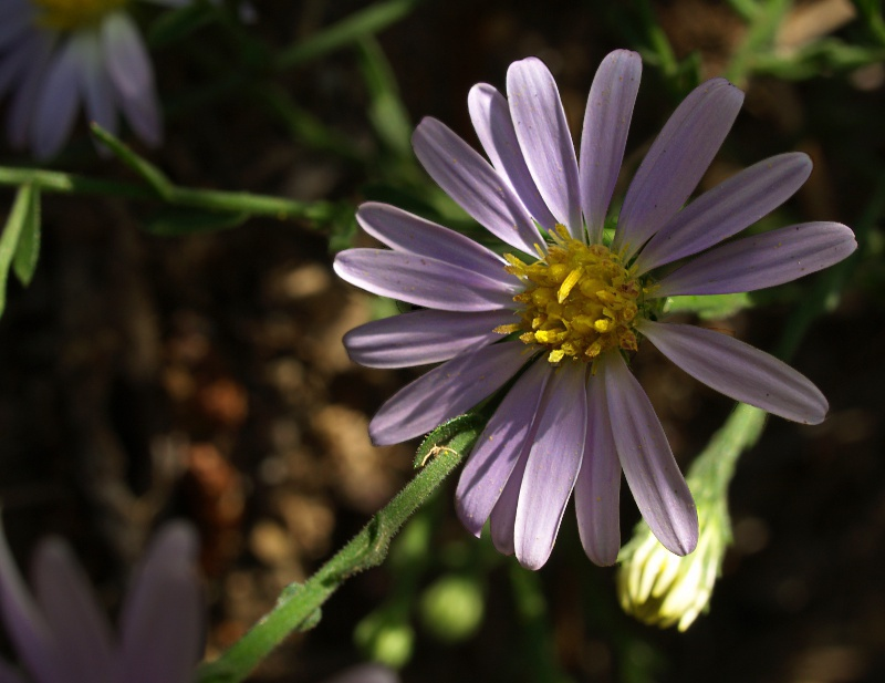 Late_Purple_Aster__Aster_patens_800