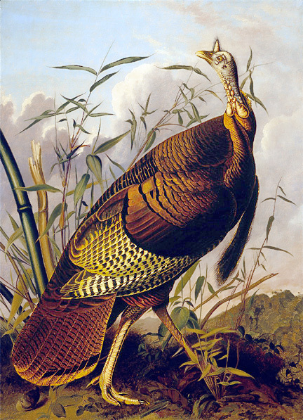 The_Wild_Turkey__Audubon_1845