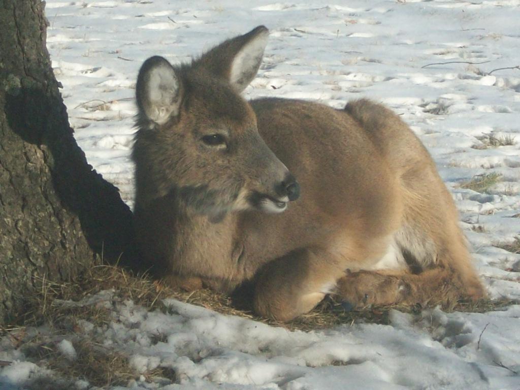 DeerFeb2014_3