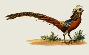 pheasant-prang