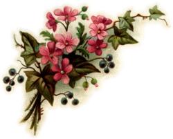 pink-ivy