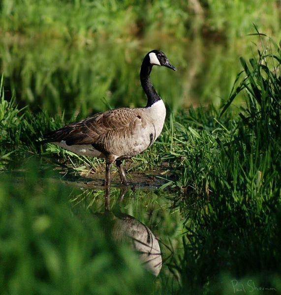 Canadian_goose_photograph