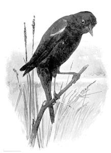Red_Winged_Blackbird_BW