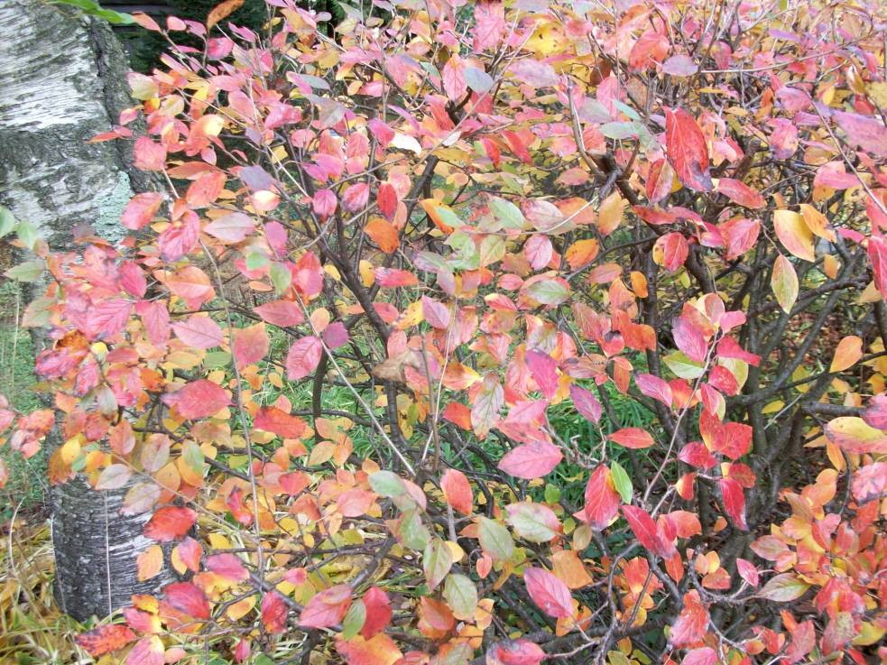 Cotoneaster 007