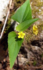 Halberd-leaf_Violet__Viola_hastata