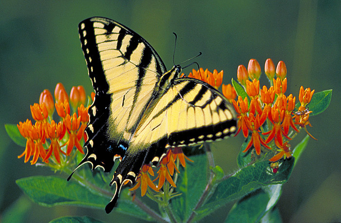 Tiger_swallowtail_on_Butterfly_weed