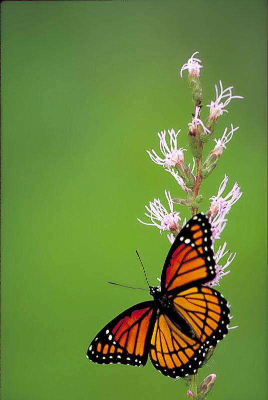 Viceroy_butterfly