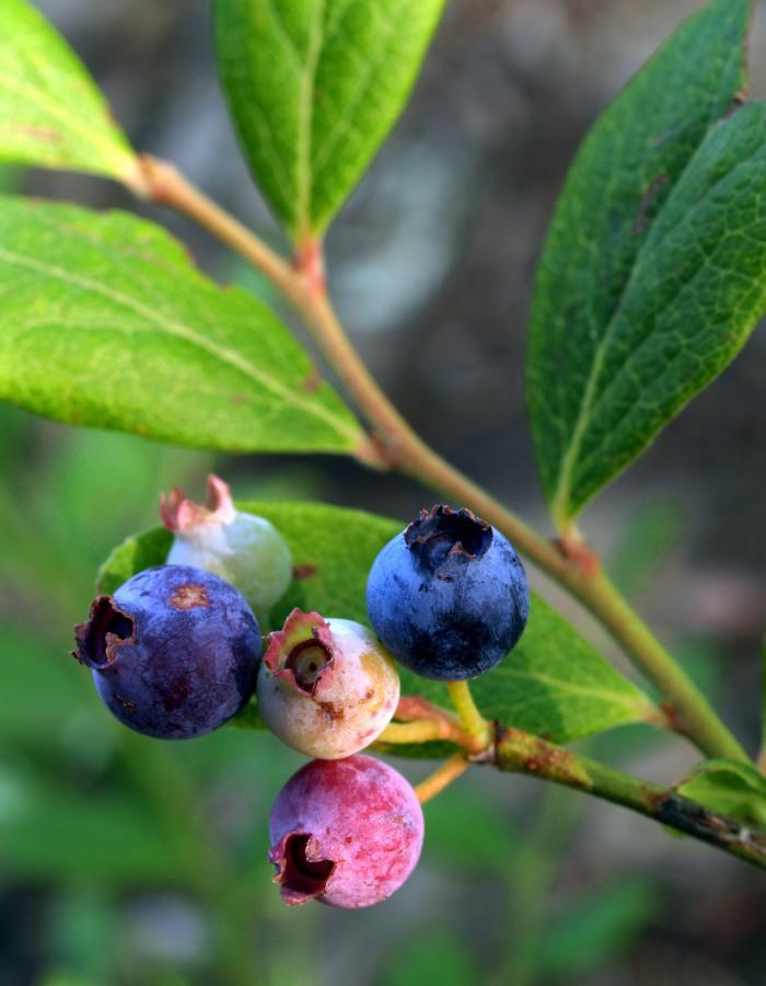 wild_blueberries_june_2010