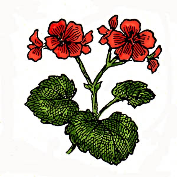 geranium-6-c