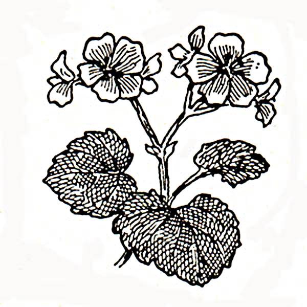 geranium-6