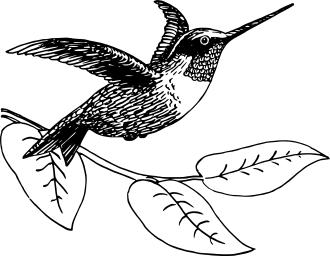 Hummingbird_drawing