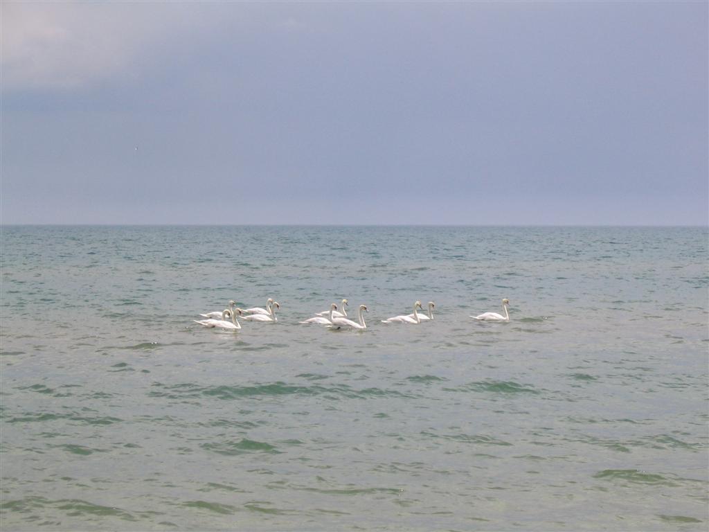 Swans2_1024