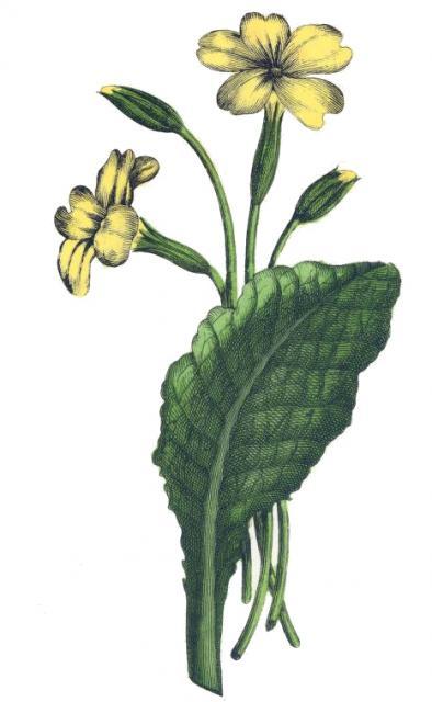 primrose-yonge