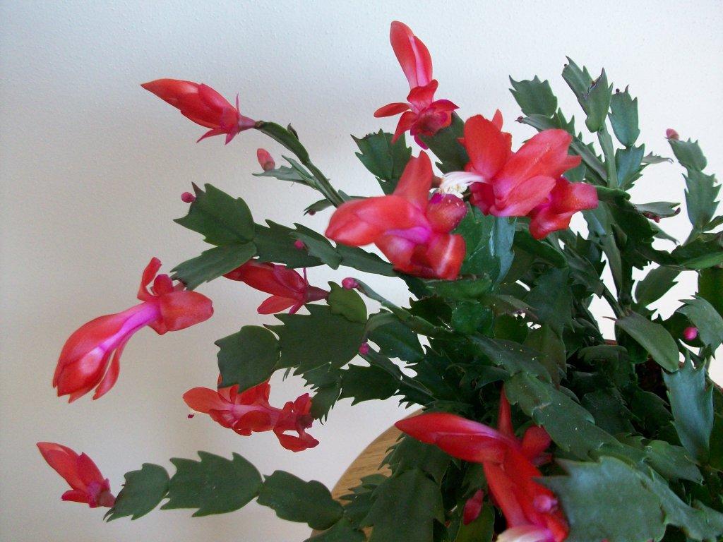 cactus-007