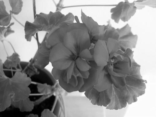 geraniumcloseup-4