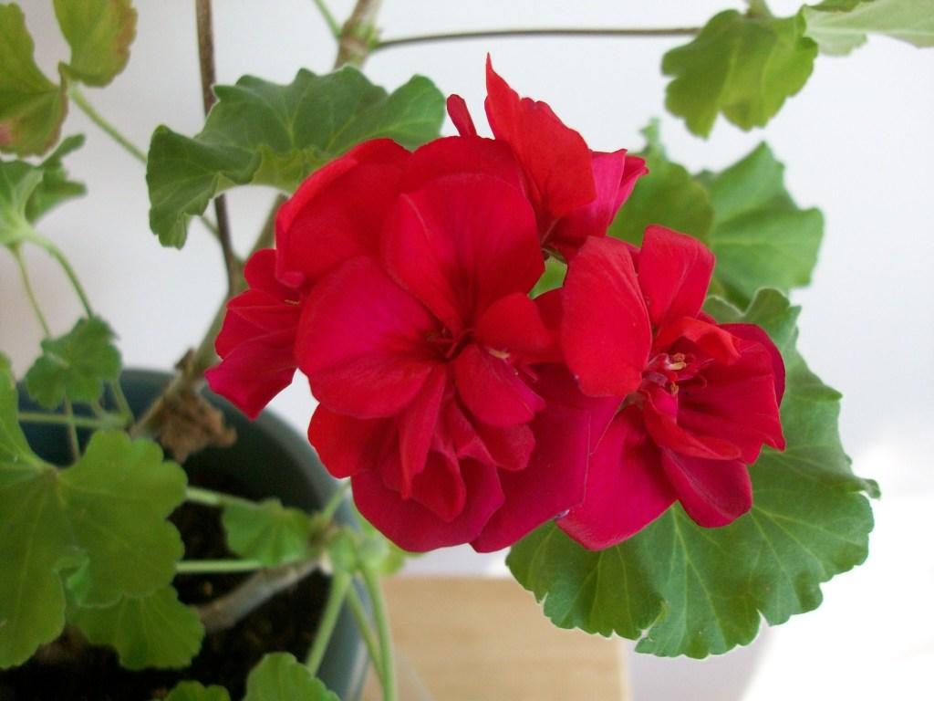 geraniumcloseup