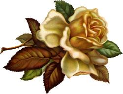 beautiful-rose