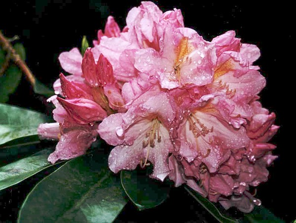 Rhododendron_Onkel_Dines