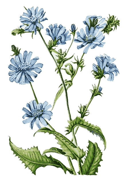 chicory_illustration
