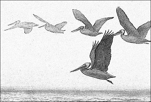 pelicans_in_the_twilight