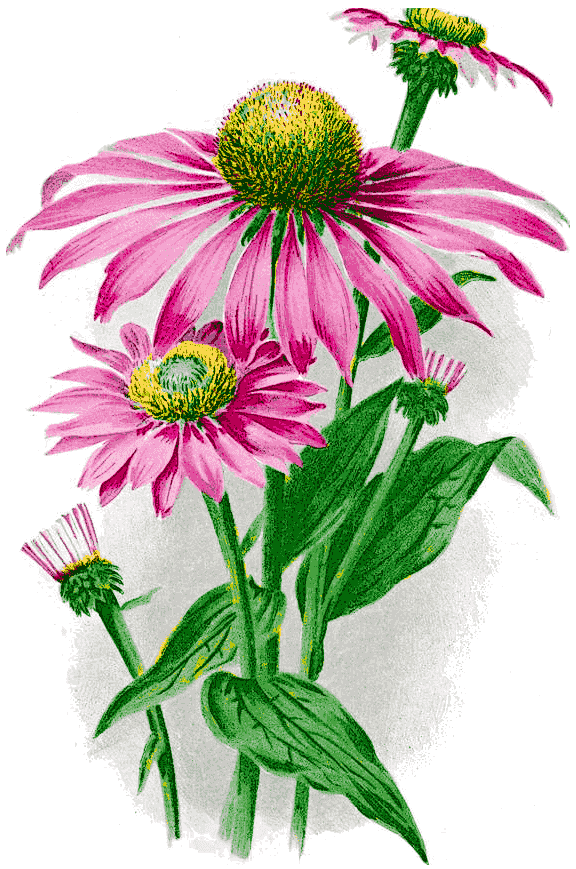 Purple_coneflower