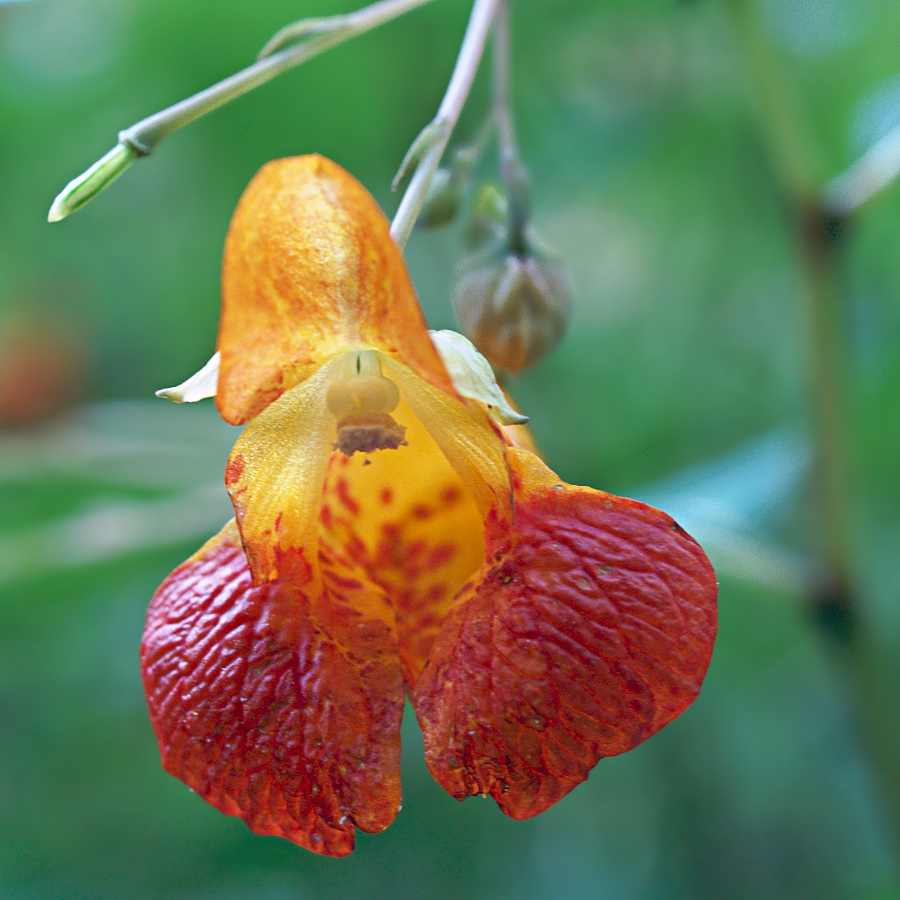 Jewelweed__Impatiens_capensis