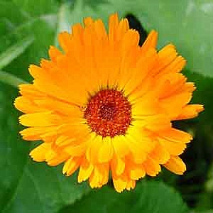 English_marigold_blossom