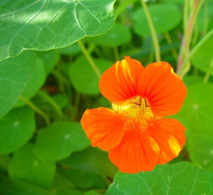 Nasturtium_bloom